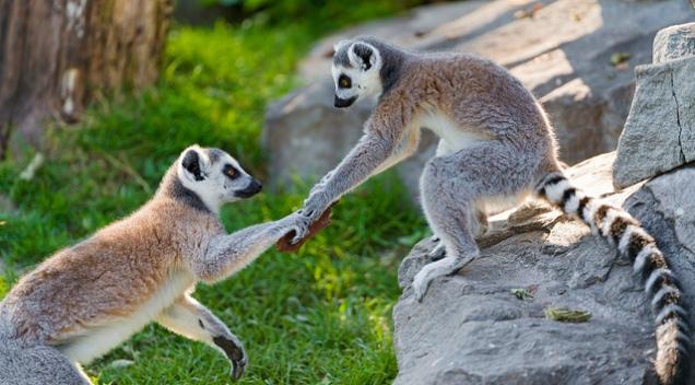 Lemur giving hands