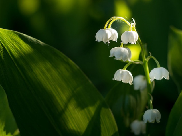 Lily of the Valley1
