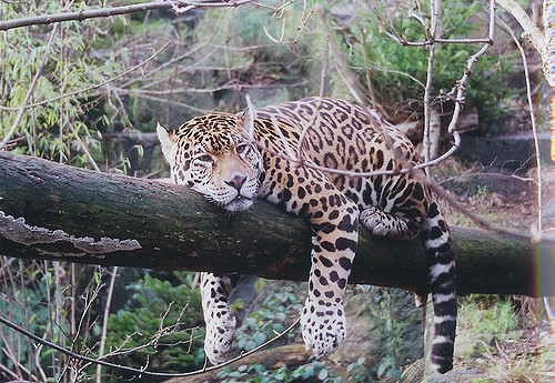 jaguar-relaxing